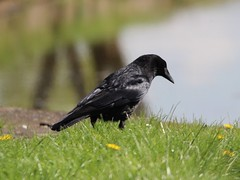 Carrion Crow (Wildlife Terry well behind) Tags: carrion crow dead fish trentmerseycanal betchton sandbach cheshire cheshireringcanals
