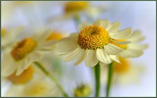Tiny White Sunflowers