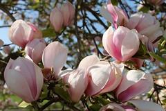 Magnolia (past ' Elle) Tags: magnolia rose printemps macro