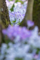 IMG_81 (schaffnerjoggl) Tags: frühling blüten bunt farben hermannshof schausichtungsgarten weinheim deutschland krokus