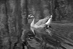 Another world below (rondoudou87) Tags: pentax k1 parc zoo reynou oiseau bird monochrome nature natur noiretblanc noir blanc black blackwhite wildlife wild white water eau reflection reflexion reflections reflet bw oie