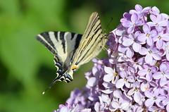 At work (dfromonteil) Tags: butterfly papillon lilac lilas fleur flower purple violet pourpre vert green black noir jaune yellow colors couleurs light lumière insect insecte bug macro bokeh spring printemps