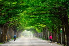 學甲174縣道綠色隧道 (hosihane) Tags: 台灣 台南市學甲區 綠色 隧道 小葉欖仁 腳踏車 道路 a77 sony 174縣道 行道樹