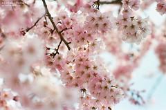 櫻花已熟酴醾放,春去雖忙意尚誇。 ([M!chael]) Tags: f3hp nikkor 10525 ais kodak ultramax400 film manual kyoto 櫻花 cherry flower nature sakura 哲學之道 japan 哲学の道
