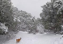Wonderland (gtsimis) Tags: wonderland cold winter pet dog trees bushes outdoors pentaxk1 ricohimaging fullframe ombosmountain achaia greece snow