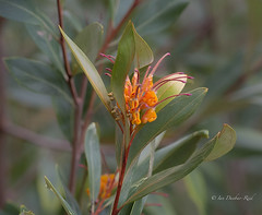 Grevillea: 'Orange Marmalade' (idunbarreid off / on) Tags: grevillea