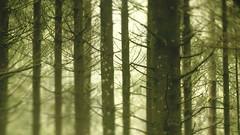 tilt shift 1910 lens on sony nex5r : trees (mathieustern) Tags: camera old blur france tree green vintage lens prime cow arty bokeh sony shift ring jura 1910 tilt folding nex sonynex nex5r