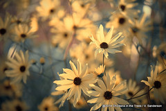Autumn Botanical -- Muted Sunflowers (Chickens in the Trees (vns2009)) Tags: flowers blue autumn sunlight painterly fall nature sunshine yellow rural outdoors photography gold crossprocessed soft dof open wind bokeh originalart country rustic daisy denim dreamy wildflowers backlit mutedcolors textured aster airy topaz blooming defocused walldecor selectivefocus brightlylit warmcolors largeposter beautyinnature bokehlicious prairiesunflower maximilliansunflower multilayeredeffect helianthusmaximilianii brightlit