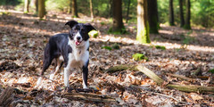 Lots of Sticks! (Bas Bloemsaat) Tags: mac woods collie sheepdog border bordercollie hoge veluwe