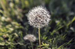 Make a wish (Iztok Alf Kurnik) Tags: autumn nature grass closeup dandelion dandelions taraxacum makeawish journalistphotography fotobyiztokkurnik