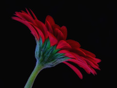 GERBERA FLAME (conniefitzgerald205) Tags: red stilllife flame gerbera onblack