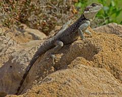 Lizard (DougRobertson) Tags: cyprus lizard paphos specanimal coth5