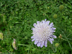 multiplant, Pangbourne&Tidmarsh, scabiosa, jdy189 XX200707081266.jpg (rachelgreenbelt) Tags: uk greatbritain england mix europe unitedkingdom berkshire scabious scabiosa pincushionflower pangbourne floweringplants dipsacaceae dicots eudicots asterids dicotyledons divisionmagnoliophyta dipsacales familydipsacaceae orderdipsacales pangbournetidmarsh dipsacalesorder asteridsclade campanulidsclade dipsacaceaefamily genusscabiosa scabiosagenus