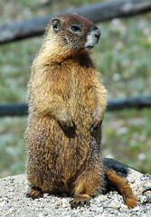 Marmota flaviventris (yellow-bellied marmot) (Rocky Mountains National Park, Colorado, USA) (James St. John) Tags: park mountain mountains yellow colorado rocky national marmot bellied marmota flaviventris