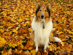 Golden Autumn with my Goldy 2014 (Colliefan) Tags: autumn portrait dog pet nature leaves animal germany garden leaf collie canine peer goldenautumn goldy doerrer nikoncoolpixp7100