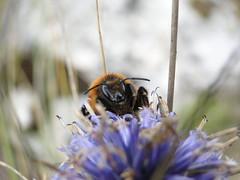 Bourdon sur chardon (1) (angelo.cda) Tags: bridge macro nature sony cybershot abeille insecte chardon bourdon caussols dschx1