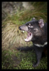 Tasmanian Devil (AlexDexterEvas) Tags: devil tasmanian alexdexterevas