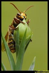 _DSC3237 (J.F. Balasko) Tags: insect ed photography 1 nikon mount f micro adapter hornet nikkor makro v1 jf jfb juraj 200mm ft1 juro balasko balako jfbalasko jfbalako babeliak jurajfbalasko jurobalasko