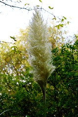 Pampas Grass (Cortaderia) (tiger289 (The d'Arcy dog supporters club)) Tags: flowers trees plants fish plant flower tree nature grass leaves birds garden restaurant leaf petals spring pond squirrels branch colours perfume westsussex blossom outdoor wildlife branches bees lawn roots insects foliage soil bark carp redwoods rabbits ww1 blooms deciduous ponds allotment shrubs poaceae naturalworld pampasgrass hardwood cherrytrees lawns fruittree manorhouse saplings chalkpit beechtrees flowerbeds cortaderia digforvictory cortaderiaselloana redbark avenueoftrees judastree highdowngardens floralwalk acidbeds highdownmanor foodproductionathome