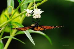 DSC_1470 Monarchvlinder mn (Danaus plexippus)