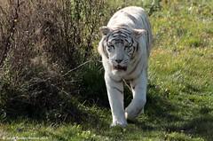 IMG_2513 (SylBon) Tags: tigre parcdesflins tigreblanc