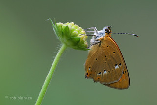 Scarce Copper (Lycaena virgaureae, morgenrood)