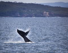 Tail-slapping Humpback Whale (dlerps) Tags: ocean sea bird water animal swimming mammal big wildlife sony large sigma australia newsouthwales whale eden fin humpbackwhale fluke tailfin sigmaapo70200mmf28exdghsm lerps sonyalphadslr twofoldbay sigmaapoteleconverter2xdg sonyalphaa77v daniellerps
