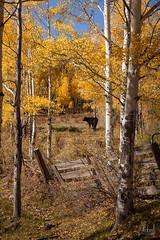 Fall at the Farm (Nickie A Photography) Tags: black fall cow farm fallcolors aspen ef24105mmf4lisusm yellowaspen canon5dmarkii