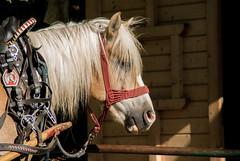 horse. (Michela Miketosk Marcucci) Tags: horse lake slovenia bled slovenija cavallo veldes miketosk miketoskcom michelamarcucci