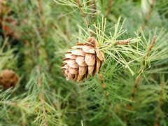 Pine Cone And Branches closeup (DigiDreamGrafix.com) Tags: life christmas xmas winter brown plant macro tree green nature up horizontal closeup pine forest festive season leaf spring still flora december branch close cone outdoor decorative background traditional seasonal decoration nobody fresh foliage evergreen needle fir environment greenery lush pinecone ornamental refreshing twigs decorate spruce coniferous conifer refreshment