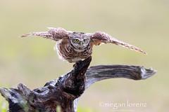 Shake It Off (Megan Lorenz) Tags: wild bird nature florida wildlife owl avian birdofprey burrowingowl mlorenz meganlorenz