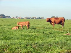 Ransdorp 07 (Quetzalcoatl002) Tags: holland love rural landscape countryside ditch cows mother calves ransdorp