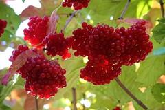 Beautiful Autumn (ivlys) Tags: autumn fruits germany deutschland herbst früchte odenwald frankenhausen gemeinerschneeball ivlys virburnumopulus