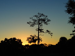 October's first sunrise this year. (Jim Mullhaupt) Tags: morning blue wallpaper orange sun tree weather silhouette yellow pine sunrise landscape dawn nikon flickr florida coolpix bradenton p510 mullhaupt jimmullhaupt
