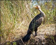 Hatteras Cormorant (MurrayH77) Tags: island nc kayak village hatteras cormorant obx