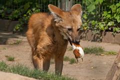 Mähnenwolf (planetvielfalt) Tags: deutschland leipzig sachsen mammalia carnivora zooleipzig canidae