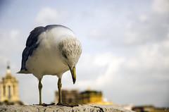 AVB_8250 (ngel Vizuete) Tags: seagull gaviota