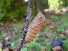 Iphiclides podalirius (Pupa) (Lepsibu) Tags: papilionidae