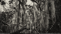 Forest (B&W) (Captain&Winnie Images) Tags: china blackandwhite bw plant tree forest landscape moss tibet hangon moist