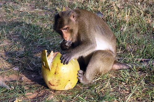 Cambodia - Siem Reap - Monkey - 14