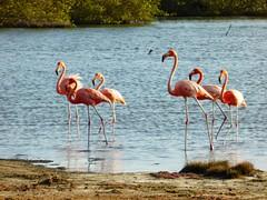 Flamengos at the mangroves (Bonaire 2014)