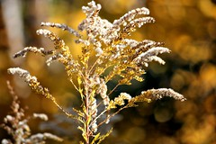 Autumn Gold (Pictures and Pastimes) Tags: autumn fall nature gold autumngold