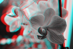 3D CMS CC-BY (Carlos ZGZ) Tags: red orchid flower 3d open creative cyan free commons anaglyph cc stereo creativecommons fp copyleft redcyan ccby freepictures openlicense freeculturalworks carloszgz