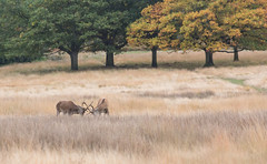 Rutting Deer At Richmond Park (stevebakerphotography) Tags: trees london photoshop canon deer aps richmondpark lightroom kpc 5dmk3 stevebakerphotography