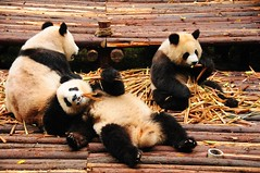 The Life of Riley  ! (john a d willis) Tags: china bamboo chengdu giantpanda lifeofriley pandaresearchcentre