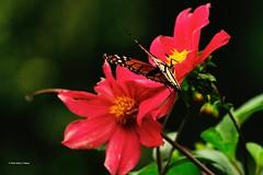 DSC_1518 Monarchvlinder (Daunus plexippus)