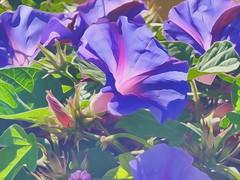 Purple and Green (GeminEye27) Tags: blue flower green purple morningglory cs6 oilpaintfilter topazclean topazsimplify