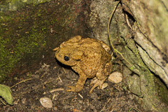 Grenouille (Myotome) Tags: nature canon frog animaux amateur grenouille myotome
