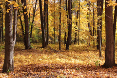 An Open Space, Autumn (marylea) Tags: fallcolors fall leaves autumn oct19 2014 color michigan washtenawcounty southeasternmichigan yellow trees paths path woods forest explore explored coloryellow