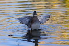 A female wood duck dries itself.
